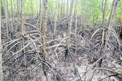Mangrove arial root Stock Photography