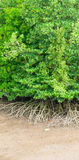 Mangrove-Bäume und Wurzeln lizenzfreie stockbilder