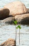 Mangrove-Baum stockfotografie