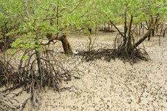Mangrove beach Royalty Free Stock Images