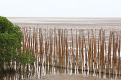 Mangrove Beach and Bambooes Royalty Free Stock Images
