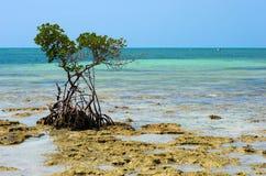 Mangrove on beach Stock Photos