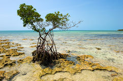 Mangrove on beach Royalty Free Stock Photography