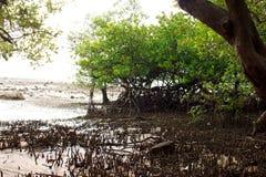 Mangrove on the beach, Phuket, Thailand Stock Images