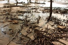 Mangrove on the beach, Phuket, Thailand. Mangroves are various large and extensive types of trees up to medium height and shrubs that grow in saline coastal Stock Images
