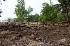 Mangrove on the beach, Phuket, Thailand Stock Photos