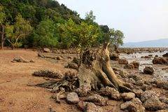 Mangrove on the beach, Phuket, Thailand. Mangroves are various large and extensive types of trees up to medium height and shrubs that grow in saline coastal Stock Photos