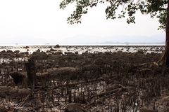 Mangrove on the beach, Phuket, Thailand. Mangroves are various large and extensive types of trees up to medium height and shrubs that grow in saline coastal Royalty Free Stock Photo