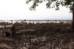 Mangrove on the beach, Phuket, Thailand Royalty Free Stock Photo