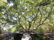 The big mangrove tree in forest. The sun light  the big mangrove forest stock photo
