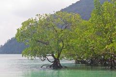 Mangrove bij eiland Surin Stock Afbeeldingen