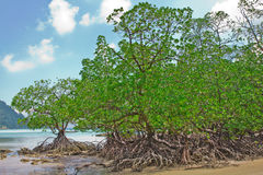 Mangrove bij eiland Surin Stock Fotografie