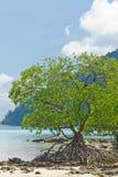 Mangrove bij eiland Surin Stock Foto's