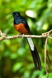 Mangrove bird Stock Images