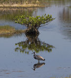Mangrove and bird. Mangrove reflected in calm waters with wading bird Stock Photo
