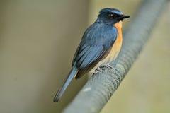 Mangrove Blauwe Vliegenvanger stock afbeeldingen