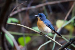 Mangrove Blauwe Vliegenvanger (wijfje) royalty-vrije stock foto's