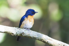 Mangrove blue flycatcher. This is a Mangrove Blue flycatcher, male. found in wild forest in a forest reserve in Malaysia Stock Images
