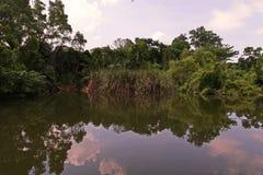 Mangrove bos of intertidal bos stock afbeeldingen