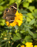 Mangrove Buckeye. Small native butterfly to Florida and southern Texas Stock Photo