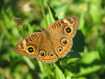 Mangrove Buckeye Butterfly on plant royalty free stock photo