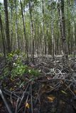 Mangrove at Can Gio`s Monkey Island, south Vietnam.  Stock Image