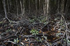 Mangrove at Can Gio`s Monkey Island, south Vietnam.  Royalty Free Stock Photography