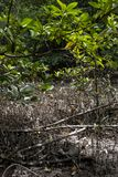 Mangrove at Can Gio`s Monkey Island, south Vietnam.  Stock Photo