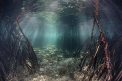 Mangrove Channel. Prop roots descend from red mangrove trees on either side of a narrow channel in a flooded forest in the tropical western Pacific. Mangroves Stock Photo