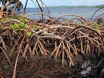 Mangrove close-up view Royalty Free Stock Images
