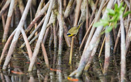 Mangrove with Common Yellowthroat Royalty Free Stock Images