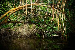Mangrove continue to grown over South Florida