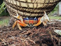 Mangrove crab close Stock Images