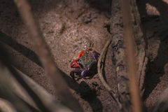 Mangrove crab. A Mangrove crab found in the mangrove forest Stock Image