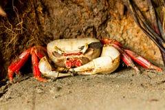 Mangrove Crab Waiting Royalty Free Stock Image