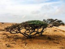 Mangrove in de woestijn Stock Afbeelding