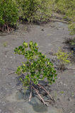 Mangrove die jonge mangrovebomen voor herbebossing planten activit Stock Foto's