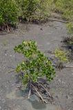 Mangrove, die junge Mangrovenbäume für Aufforstung activit pflanzt Stockfotos
