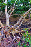 Mangrove Ecosystem Everglades Stock Photography