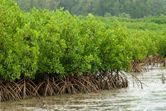 mangrove för 2 skog arkivbild