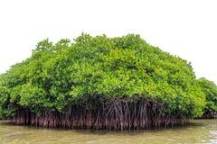 Mangrove. Farm at pichavaram. Tamilnadu, India Royalty Free Stock Images