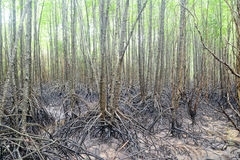 Mangrove field Stock Photo