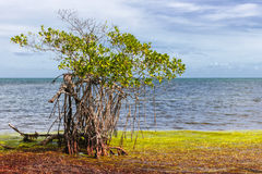 Mangrove at Florida Keys Royalty Free Stock Image