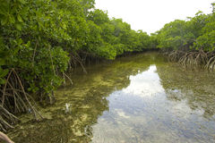 Mangrove-Fluss Lizenzfreie Stockfotografie