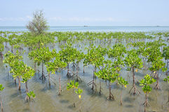 Mangrove fores Stock Photos