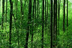 Mangrove Forest. The Mangrove Forest in Asia Stock Photo