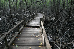 Mangrove forest. Landscape shot of a mangrove forest with boardwalk Royalty Free Stock Images
