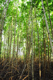 Mangrove forest. At Chantaburi, Thailand Stock Image