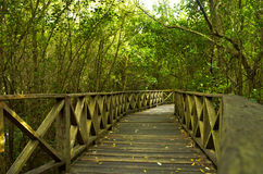 Mangrove forest. In south of Thailand Royalty Free Stock Photos