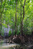 Mangrove Forest. At Langkawi geopark, UNESCO listed of the rain forest with the mangrove trees ecological system, Malaysia royalty free stock photography
